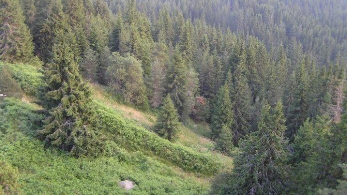 Δάσος Ελατιάς, Δράμα