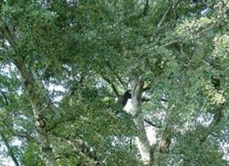 Λεύκη - Populus alba